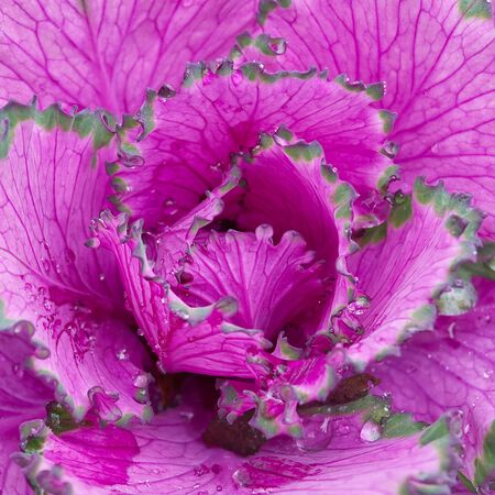decorative purple cabbage. blooms very beautifully in autumn and adorns flower beds. Brassica oleracea var. acephala close-up. Фото со стока