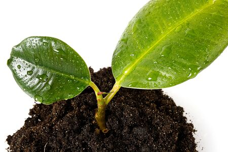 young sprout of a ficus. eco concept future earth. home flower care. green thinking concept. Green living concept.