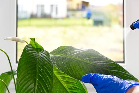 Home plants care concept. hands clean the leaves of a home plant with a damp cloth and water spray. Early spring cleaning or regular clean up. Cleaning Service conceptatHome, apartments, hotels
