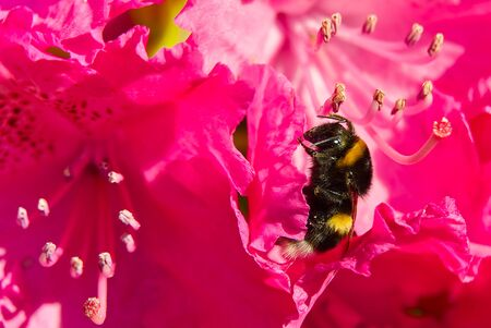 A Bumblebee sitting on a red rhododendron flower.