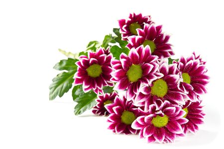 Beautiful fresh pink chrysanthemum, close-up shot, pink daisies flowers.