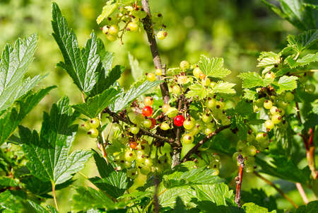 Unripe red currant on a bush, Maturing of berries in garden.