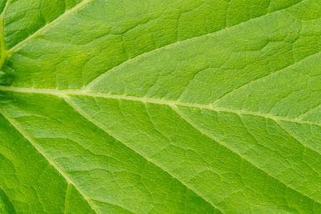 Large leaf pumpkin close-up shoot. texture of pumpkin leaves. Archivio Fotografico