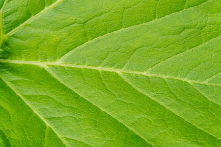 Large leaf pumpkin close-up shoot. texture of pumpkin leaves.