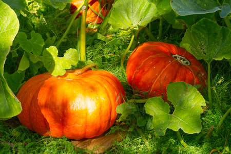 ECO Organic orange ripe pumpkin in home garden in sunny day laying on grass. Growing organic vegetables concept.