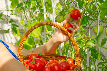 in the greenhouse the girls hand collects ripe red ecological tomatoes into a wicker basket. eco food home gardening concept.