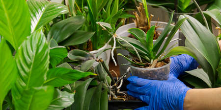 Young woman cultivating flowers. Woman caring for house plant orchid. hands take care of plants. Indoor home garden plants. Home gardening concept