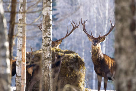 Red deer in winter forest. wildlife, Protection of Nature. Raising deer in their natural environment.