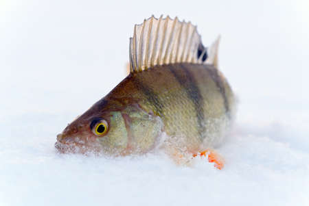 perch fish on the snow in winter on ice. winter fishing,