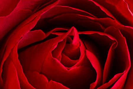 beautiful close up red rose bud macro Фото со стока