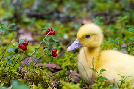 cute little yellow duckling are walking on the green grass in spring forest. easter young duckling concept. wildlife