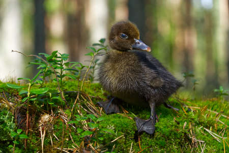 cute little brown duckling are walking on the green grass in spring forest. easter young duckling concept. wildlife