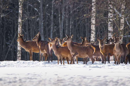 Herd of wild Red deer in winter forest. wildlife, Protection of Nature. Raising deer in their natural environment.