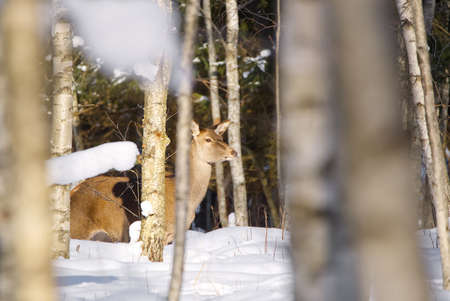 Red deer in winter forest. wildlife, Protection of Nature. Raising deer in their natural environment. Фото со стока - 164824071