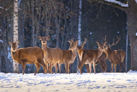 Red deer in the winter forest, national park. wildlife, nature conservation. Cervus elaphus on a cold winter day