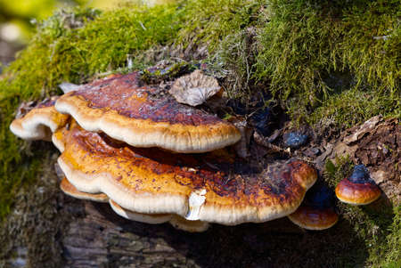 Red Banded Polypore growing on a tree covered by green moss in the forest. a parasitic fungus growing on a tree like virus Fomitopsis pinicola