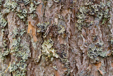 Texture of the nordic pine, bark. Natural structure of pine tree bark. Background
