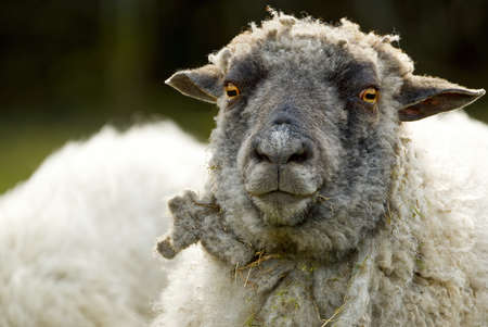 Sheep portrait. unshorn sheep in a spring field. Sheep looking to camera, Farming, free grazing concept