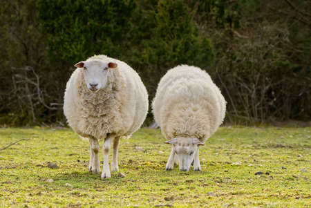 Sheep eating fresh grass. unshorn sheep in a spring field. Sheep looking to camera, Farming, free grazing concept