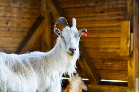 White goat in the barn. Domestic goats in the farm. Cute an angora wool goat. A goat in a barn at an eco farm located in the countryside. Banque d'images