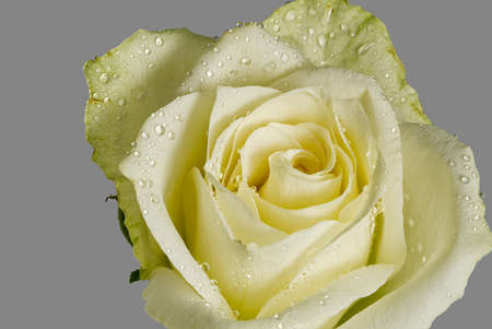 Close up of white rose with dew. Close-up white rose with raindrops on the petals. Single soft rose flower with water drops close up.