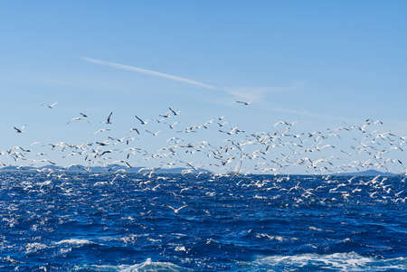 Hungry seagull birds fighting for fish, flock of seagulls flying over sea behind the ship to found small fish. Banque d'images