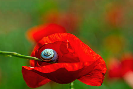 Field of red poppies. Red poppy on green weeds field. Close up poppy head. Papaver rhoeas. Beautiful wild field of red poppies. Summer time, beauty in nature concept