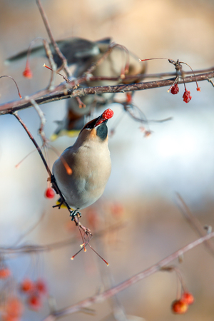 a flock of waxwings on the branches eat fruits in the winter, close-up