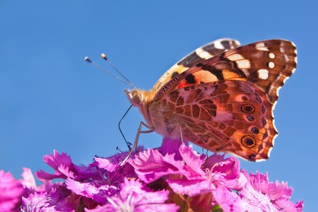 butterflies nectar: Painted lady (species of butterflies) sits on pink flower of sweet william and sucks nectar Stock Photo
