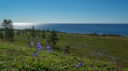 Pines and small blue flowers on the White Sea on the Kola Peninsula