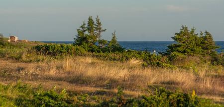 Pines and dry yellog grass on the White Sea on the Kola Peninsula