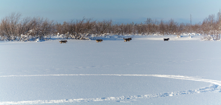 A string of stray dogs running one after another through the snow