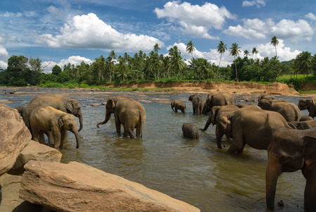 heard: Elephant heard bathing in a river