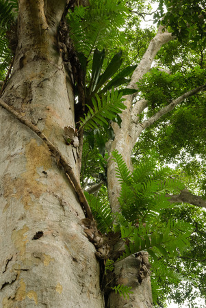 parasites: Tropical tree