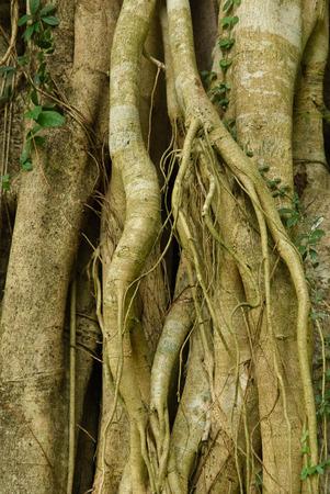 tropical tree: Ra�ces de un �rbol tropical