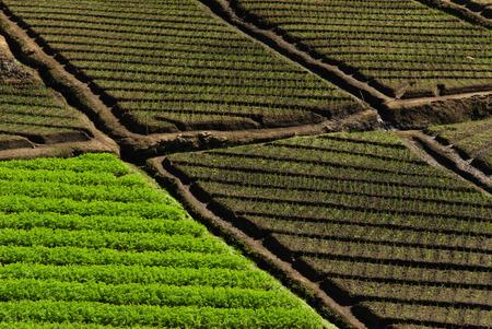 agriculture sri lanka: Terraced vegetable fields, Nuwara Eliya, Sri Lanka