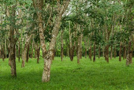 agriculture sri lanka: Rubber plantation Stock Photo