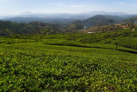 agriculture sri lanka: Tea plantation, Nuwara Eliya, Sri Lanka