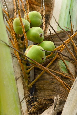 unripe: Young unripe coconuts on a tree Stock Photo