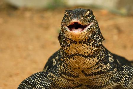 lagartija: Varanus salvator, lagarto monitor de agua