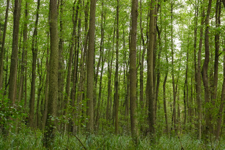 broad leaved tree: Thick green broad-leaved forest