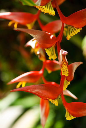 heliconia: Heliconia rostrata, red crab claw flower