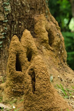colony: Termite colony