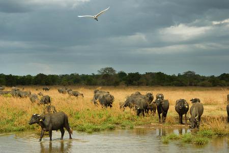 stormy sky: Water buffalo under a stormy sky Stock Photo