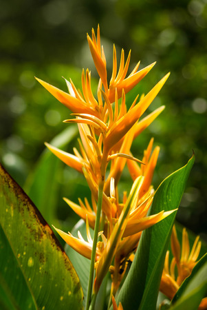 heliconia: Heliconia psittacorum, yellow tropical flower