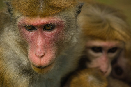 macaque: Macaque mother with two babies