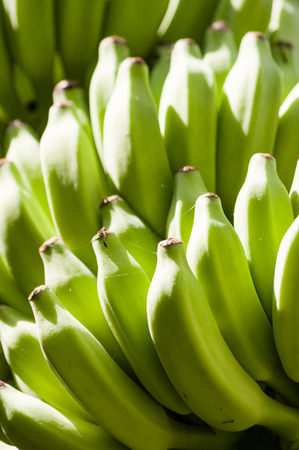 ripening: Buch of bananas ripening on a tree