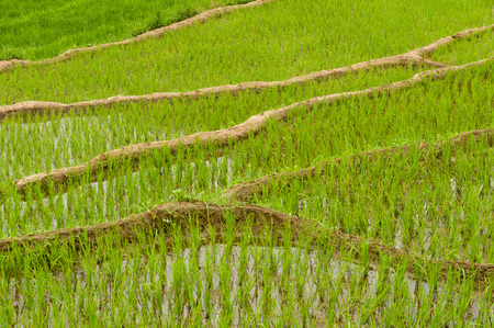 terraced: Terraced paddyfields with young rice plants in water