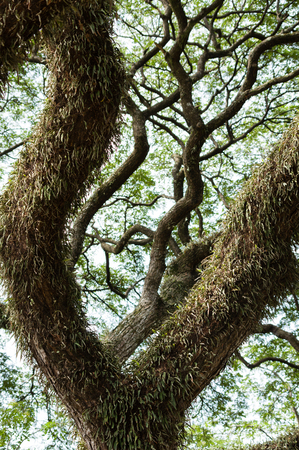 parasitic: Large tropical tree with parasitic leaves covering its trunk
