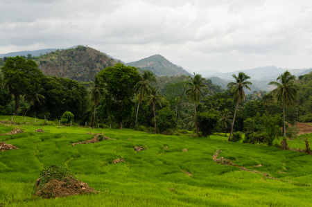 hills: Paddyfileds in a rural hilly tropical landscape, Sri Lanka